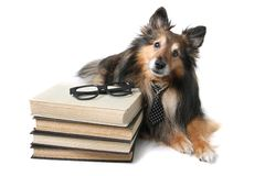 Sheltie dog at the office Stock Photo