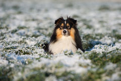 Sheltie dog outdoors in winter Royalty Free Stock Image