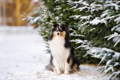 Sheltie dog outdoors in winter Royalty Free Stock Photos