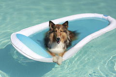 Sheltie Dog in the Pool. Young female Shetland sheepdog on a blue and white pool lounger floating in a swimming pool Stock Images