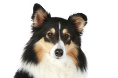 Sheltie dog portrait Stock Photo