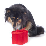 Sheltie dog with red parcel Royalty Free Stock Photo