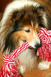 Sheltie dog with rope. Shetland Sheepdog with a rope toy royalty free stock photography