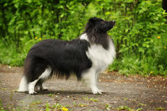 Sheltie dog in the show position Stock Image