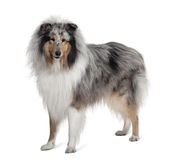Sheltie dog standing in front of white background Royalty Free Stock Images