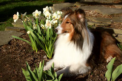 Sheltie e Daffodils Foto de Stock Royalty Free