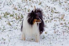 Sheltie en la nieve Imagen de archivo libre de regalías