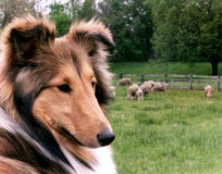 Sheltie et moutons Photos stock