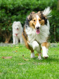 Sheltie fonctionnant Images stock
