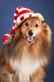 Sheltie with funny cap. Portrait of sheltie with funny cap Royalty Free Stock Photography