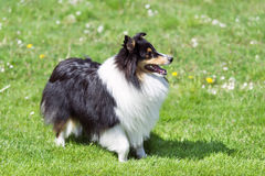 Sheltie on the green field. Sheltie staying on the green field Royalty Free Stock Images