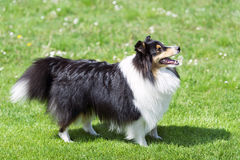 Sheltie on the green field. Royalty Free Stock Image