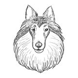 Collie face isolated on white background. Sheltie hand drawn sketch. Cute dog face for your design Royalty Free Stock Photo