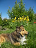 Sheltie Hund Stockfotos