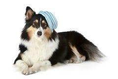 Sheltie Hund, der auf einem weißen Hintergrund liegt Stockfoto