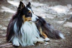 Sheltie-Hund, der aus den Grund liegt Stockfoto