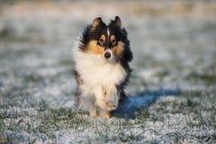 Sheltie-Hund, der draußen in Winter läuft Lizenzfreie Stockbilder