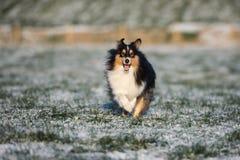 Sheltie-Hund, der draußen in Winter läuft Stockfotos