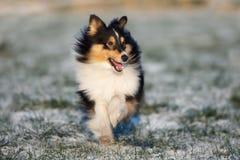 Sheltie-Hund, der draußen in Winter läuft Stockbilder