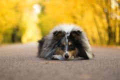 Sheltie-Hund, der Tricks auf der Straße tut Lizenzfreies Stockfoto