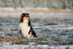 Sheltie-Hund draußen im Winter Lizenzfreie Stockbilder