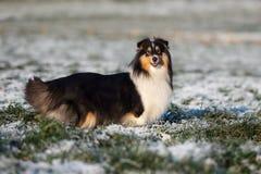 Sheltie-Hund draußen im Winter Stockfoto