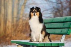 Sheltie-Hund draußen im Winter Lizenzfreies Stockfoto