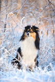 Sheltie-Hund draußen im Winter Lizenzfreie Stockfotografie