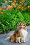 Sheltie hund för en gå i parkera royaltyfria foton