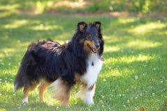 Sheltie hund i sommartidgräs Arkivfoto