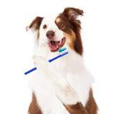Sheltie hund som borstar tänder royaltyfri bild