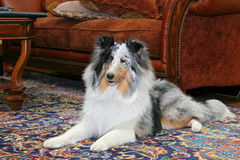 Sheltie indoors Royalty Free Stock Images