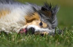 Sheltie lying in the grass Stock Image