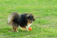 Sheltie negro que juega con la bola anaranjada en hierba Fotos de archivo libres de regalías