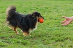 Sheltie negro que juega en hierba verde con la bola anaranjada Fotografía de archivo libre de regalías