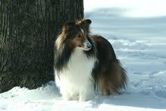 sheltie śnieg Obraz Royalty Free