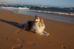 Sheltie på kusten Royaltyfri Bild