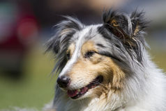 Sheltie portrait Royalty Free Stock Photo