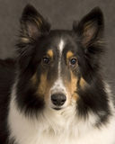 Sheltie portrait. Portrait of an adult black and white Shetland sheepdog Stock Photo