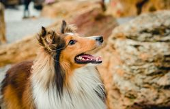 Sheltie portrait stones royalty free stock images