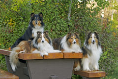 Sheltie Power Royalty Free Stock Photography