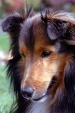 Shetland Sheepdog portrait. Portrait of Shetland Sheepdog outdoors with green grass in background royalty free stock image