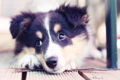 Sheltie pup Royalty Free Stock Image