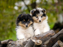 Sheltie puppies. Cute sheltie puppies looking at camera sitting closely one to other Stock Photography