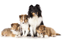 Sheltie puppies and mother dog Royalty Free Stock Image