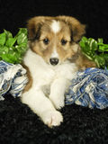 Sheltie Puppy Stock Photography