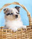 Sheltie puppy Royalty Free Stock Image