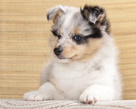 Sheltie puppy Stock Photo