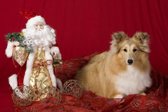 Sheltie puppy with Christmas theme Stock Images