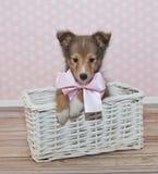 Sheltie Puppy Stock Photo
